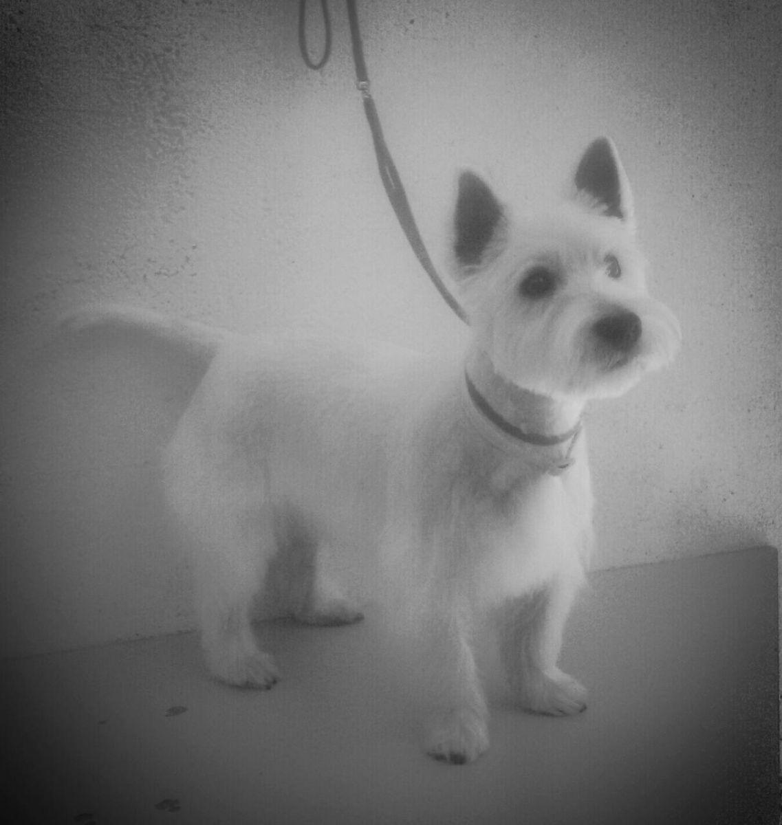 Taiko y su corte de raza en nuestra peluquería canina