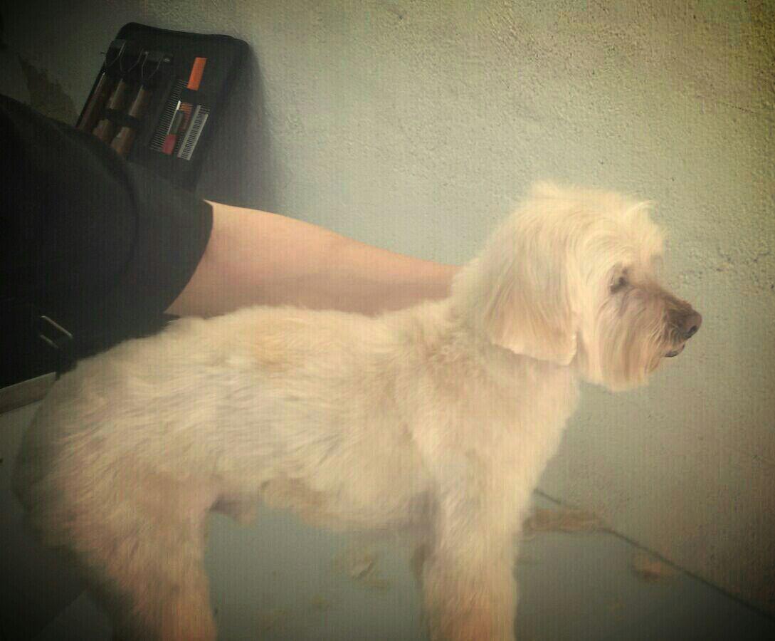 Verdell, corte cachorro en nuestra peluquería canina